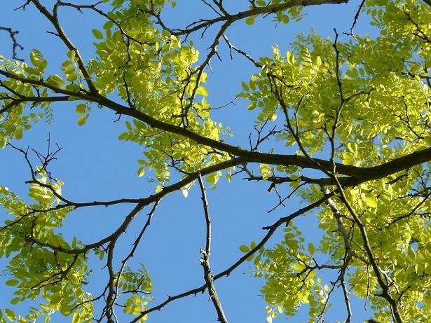 robinia pseudoacacia pianta