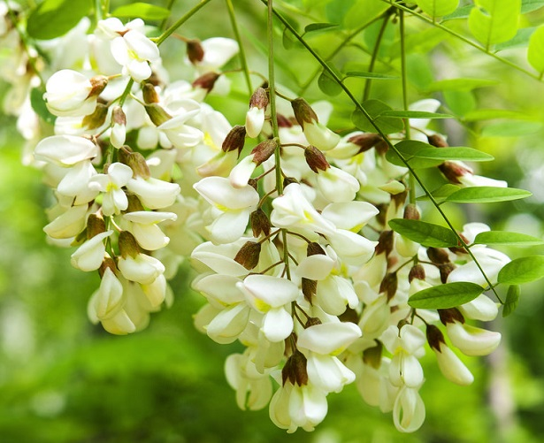 Robinia pseudoacacia idee green for Acacia albero