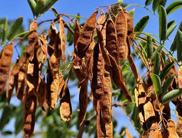 robinia pseudoacacia frutti