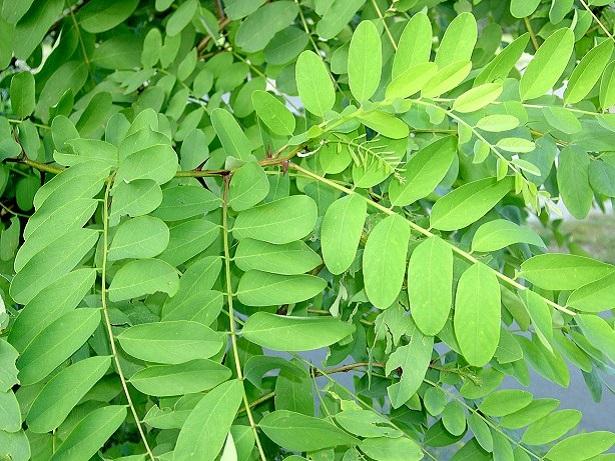 robinia pseudoacacia foglie