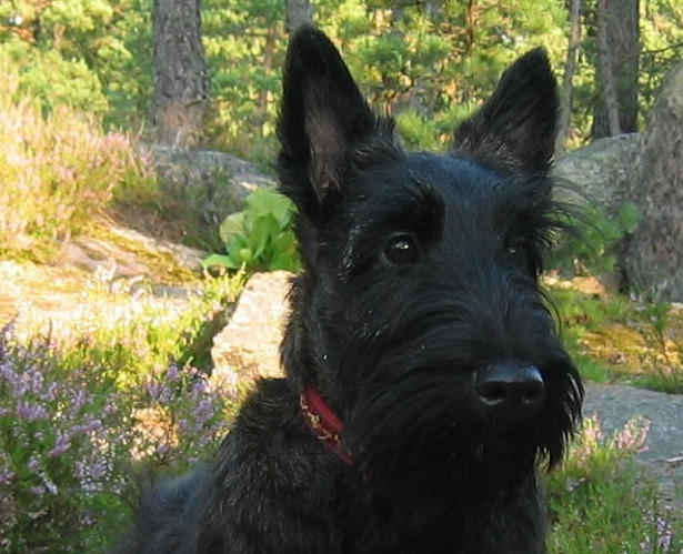 scottish terrier aspetto