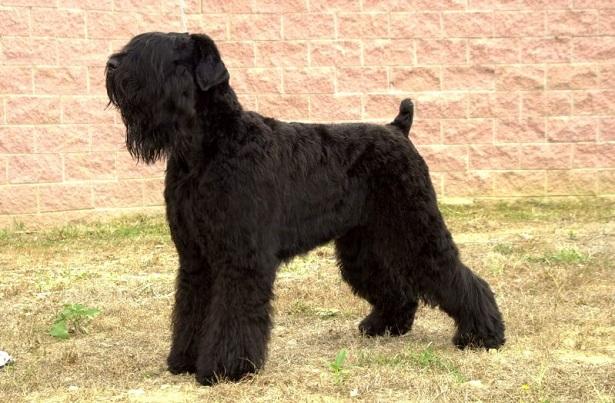 terrier nero russo
