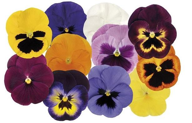 viola semi