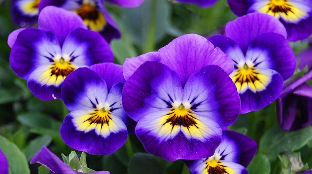 Viola: il fiore e le sue proprietà