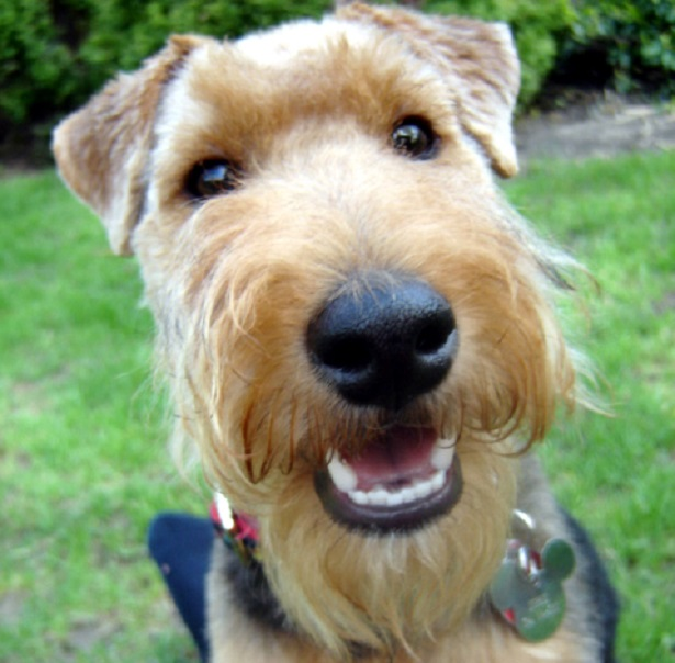 welsh terrier orgini