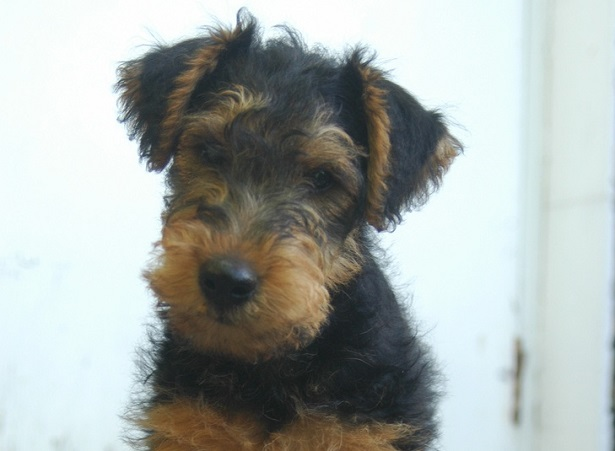 welsh terrier carattere