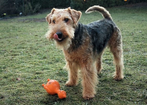 welsh terrier allevamento