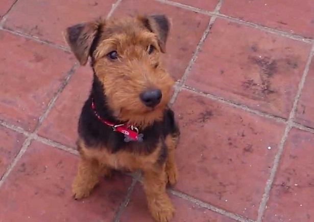 welsh terrier cuccioli