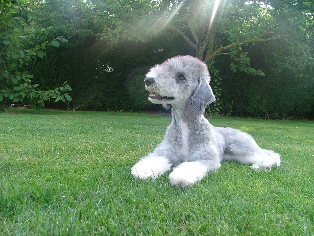 Bedlington Terrier aspetto