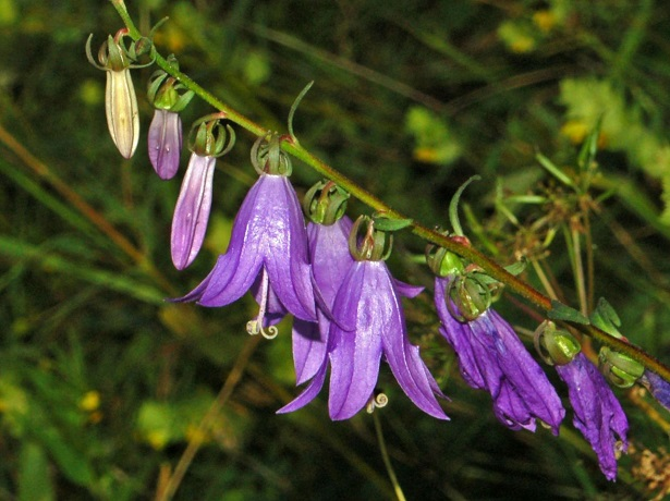 campanula il fiore