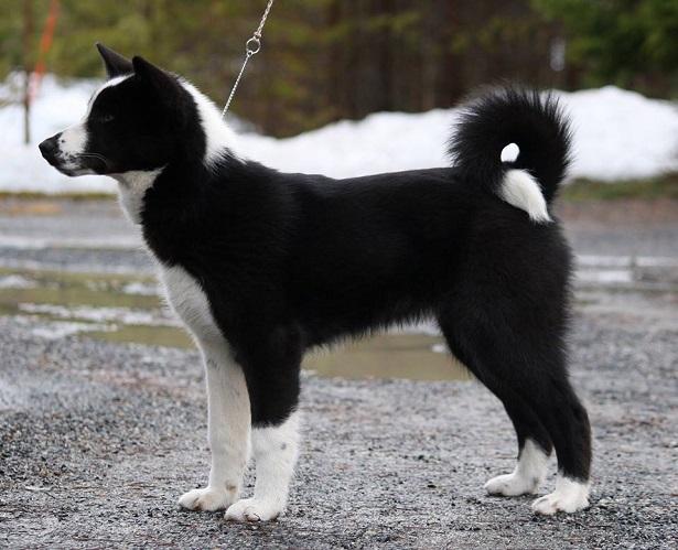 Cane da Orso della Carelia