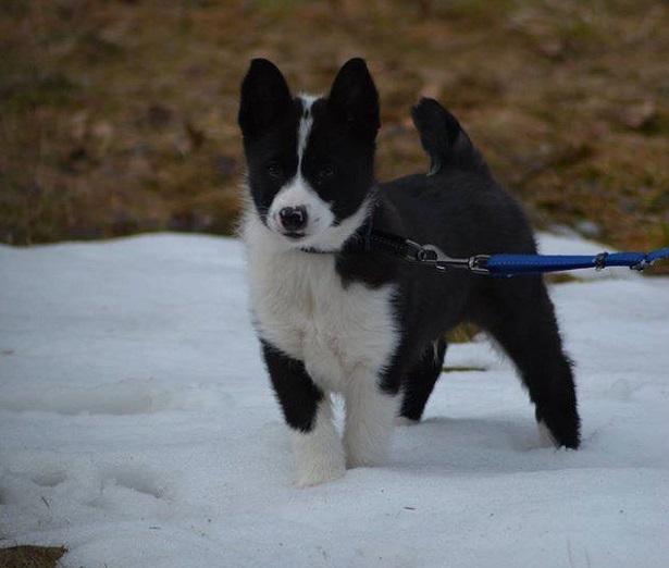 Cane da Orso della Carelia cuccioli