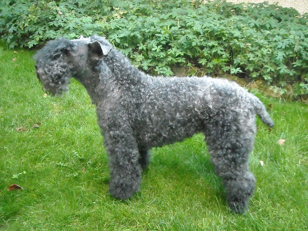 Kerry blue terrier foto