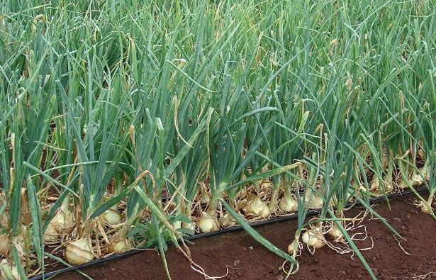 allium cepa pianta