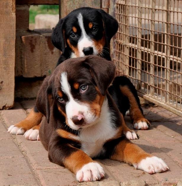 bovaro dell'appenzell cuccioli