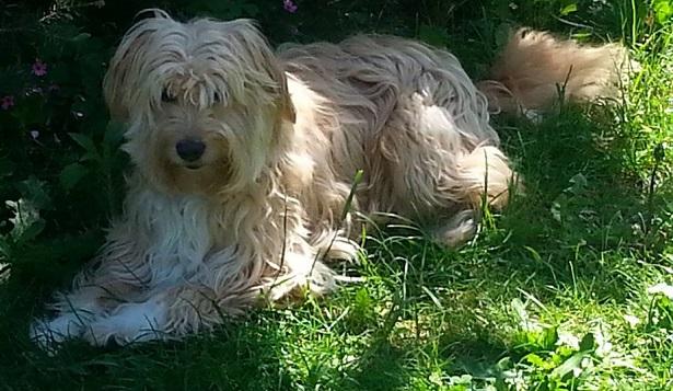 cane da pastore catalano mantello