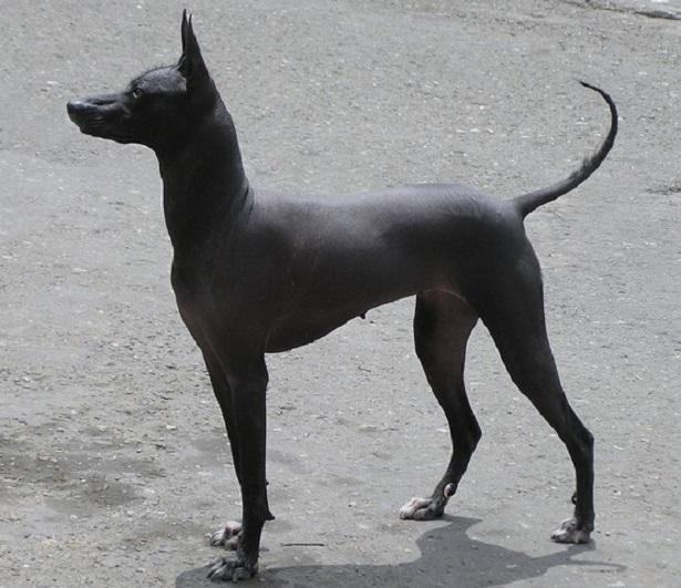 Cane peruviano