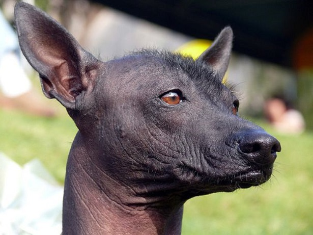 perro sin pelo del Perù pelo