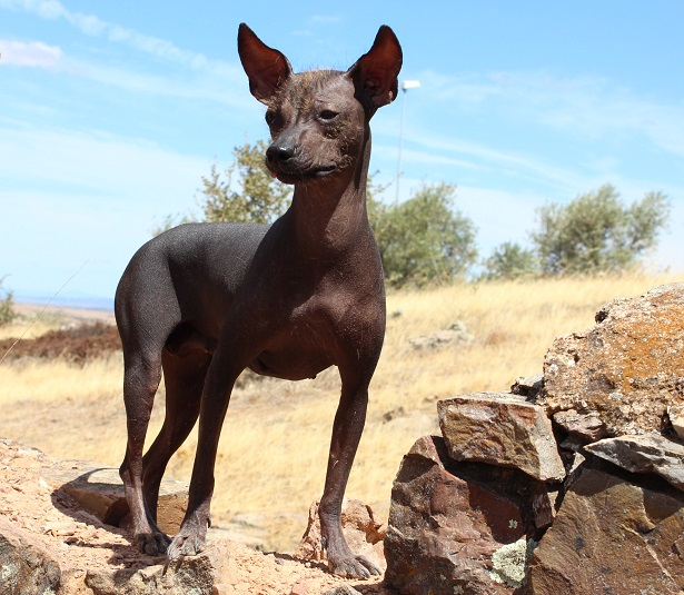 Cane del Perù