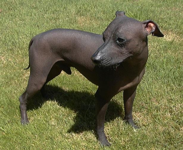 perro sin pelo del Perù carattere
