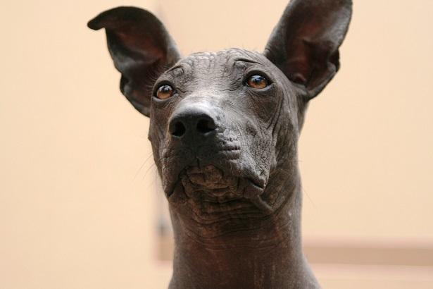 perro sin pelo del Perù origini
