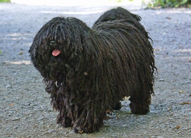 cane puli carattere