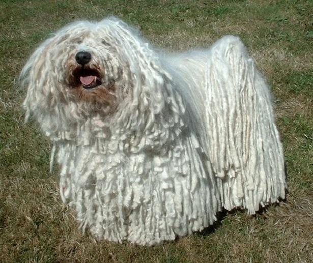 cane puli origini
