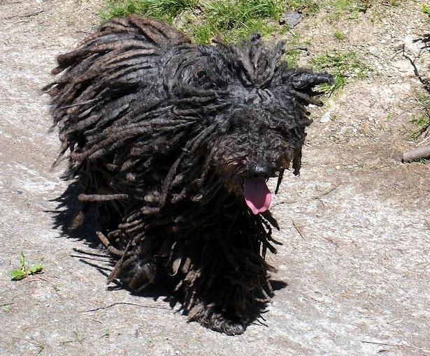 cane puli aspetto