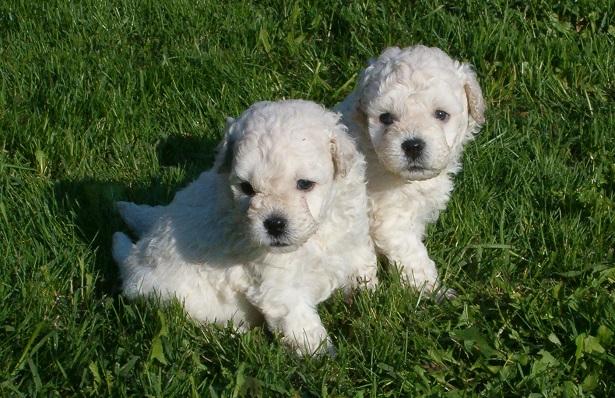 cane puli cuccioli