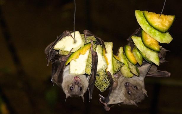 come attirare i pipistrelli