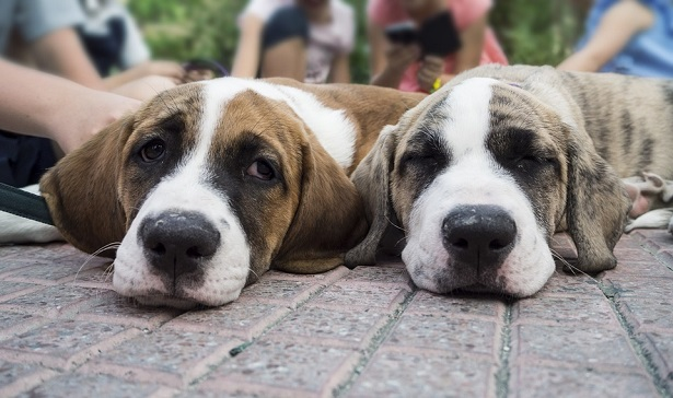 come comunicano i cani