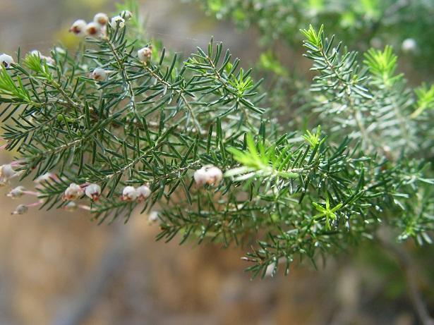 erica pianta perenne