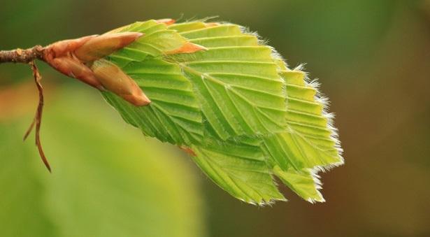 faggio pianta