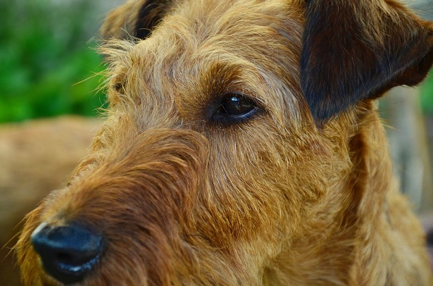 irish terrier origini