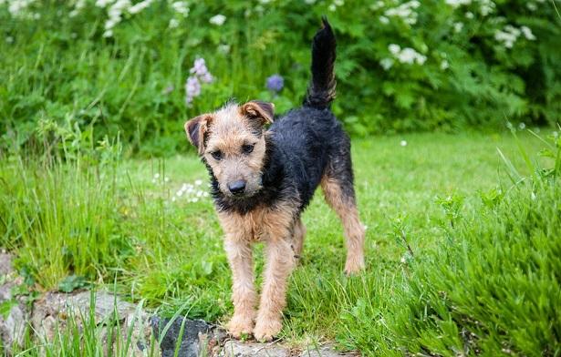 lakeland terrier foto