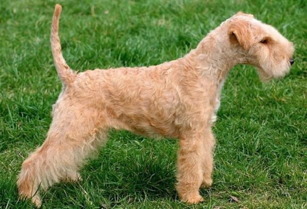Lakeland Terrier origini