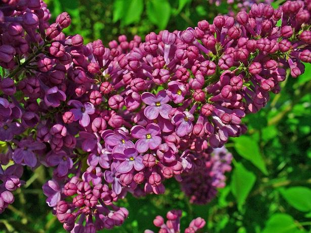 lill pianta e sue propriet idee green