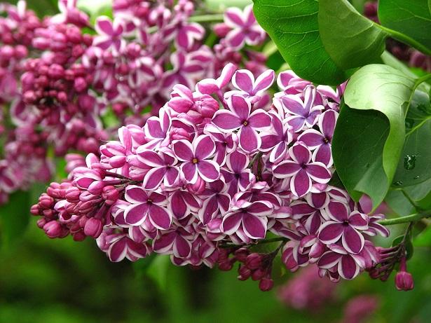 lilla fiore immagini