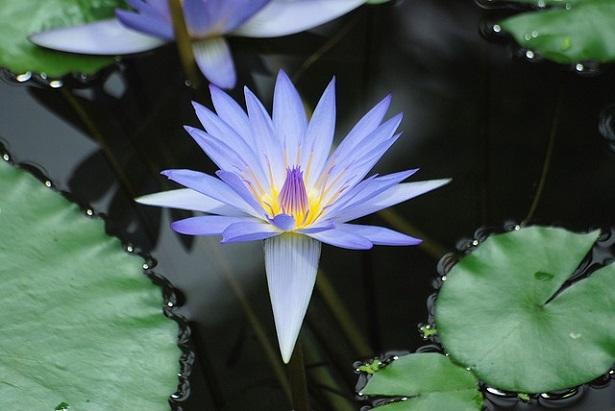 ninfea blu