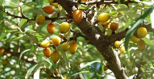 olivello spinoso proprietà