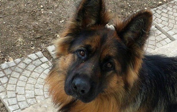 pastore tedesco a pelo lungo carattere. Possiamo trovare cani di