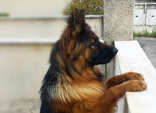 pastore tedesco a pelo lungo cuccioli