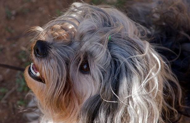 piccolo cane leone aspetto
