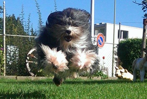 piccolo cane leone carattere