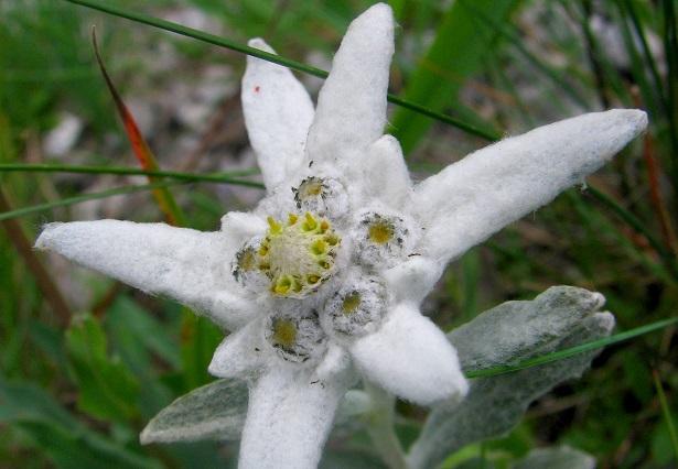 stella alpina il fiore