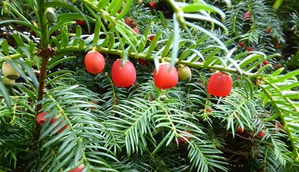 taxus baccata frutti
