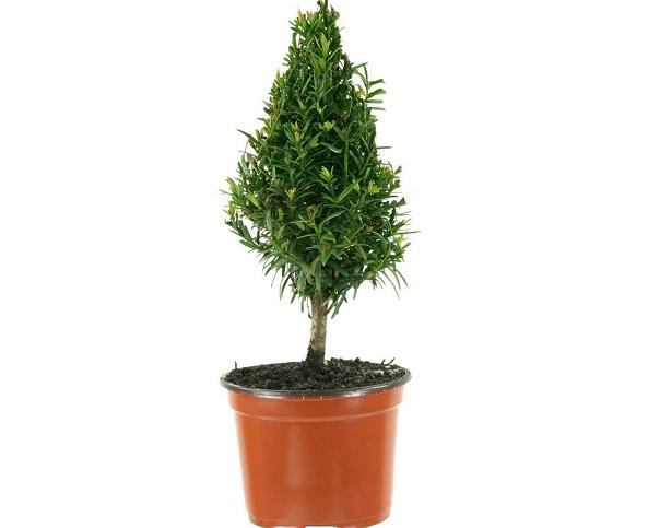 taxus baccata pianta