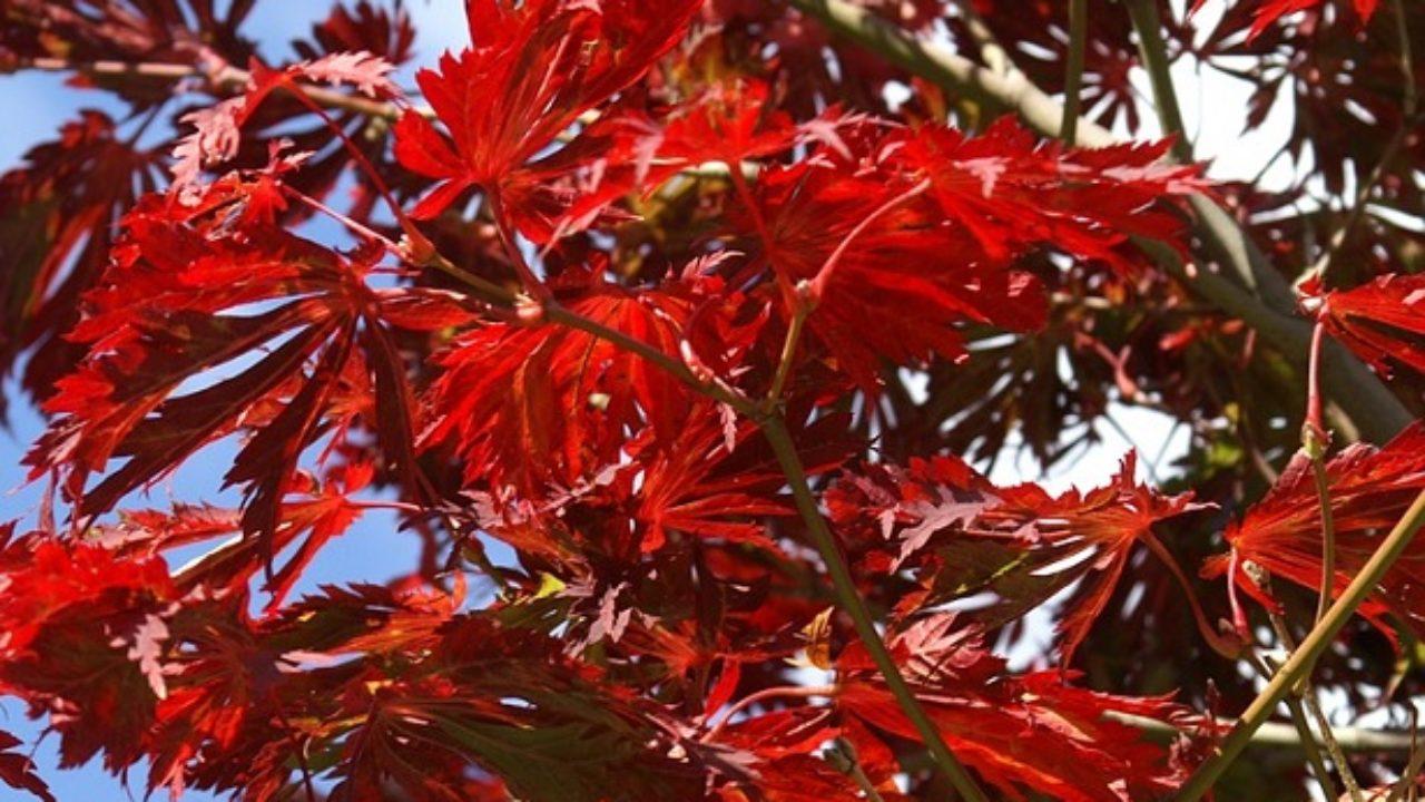 Alberi Nani Da Giardino acero rosso giapponese: come coltivarlo e prezzo - idee green