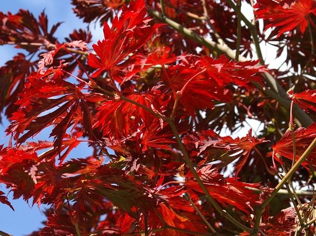 Acero rosso giapponese come coltivarlo e prezzo idee green for Acero giapponese
