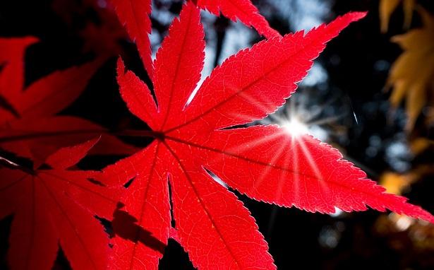 Acero rosso giapponese come coltivarlo e prezzo idee green for Acero giapponese in vaso
